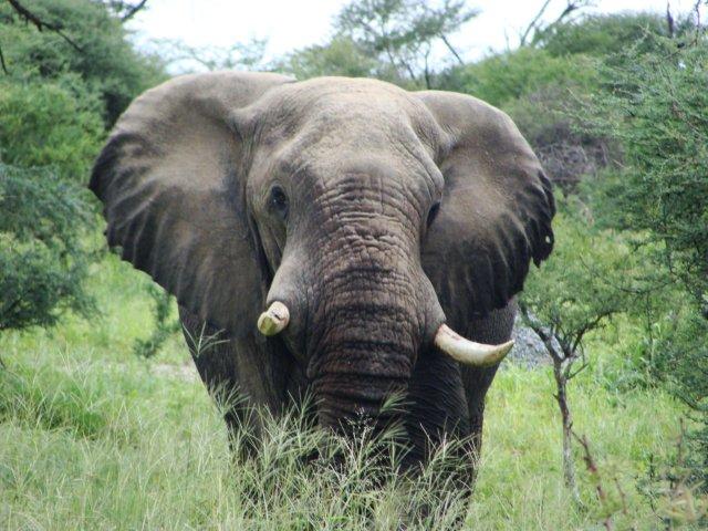 Elefante se dirigindo a piscina do camping