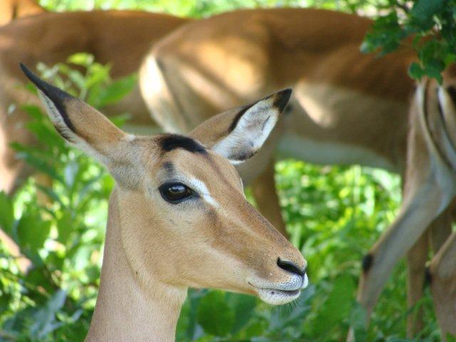 Impalas no Chobe National Park