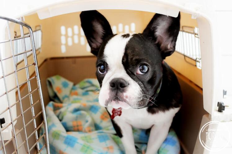 levar animais de estimação para Portugal
